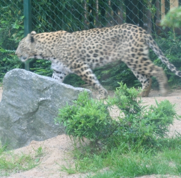 medium_Le_leopard_IMG_3613.jpg