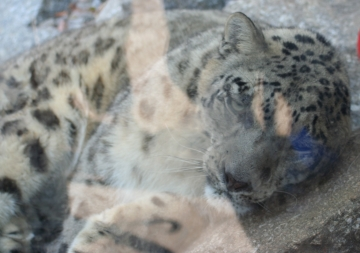medium_Leopard_des_neiges_IMG_3917.jpg