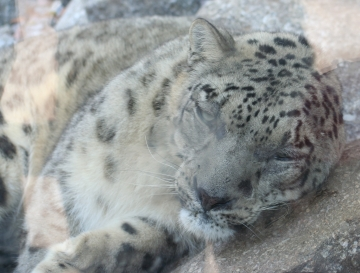 medium_Leopard_des_neiges_IMG_3919.jpg