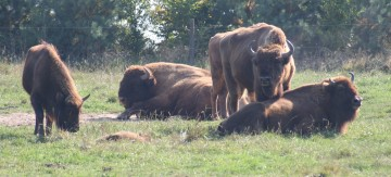 medium_bison_img_2260.jpg