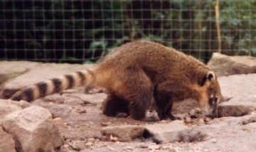 medium_coati1modif.jpg