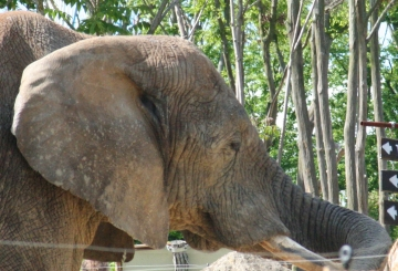 medium_elephant_IMG_3445.jpg