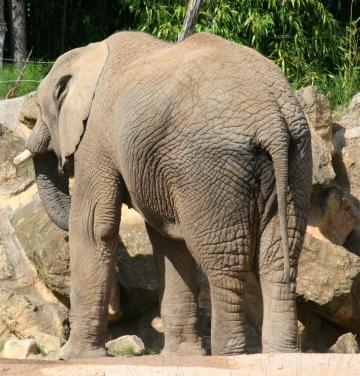 medium_elephant_IMG_3446.jpg