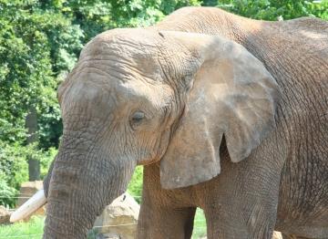 medium_elephant_d_afrique_IMG_3871.jpg