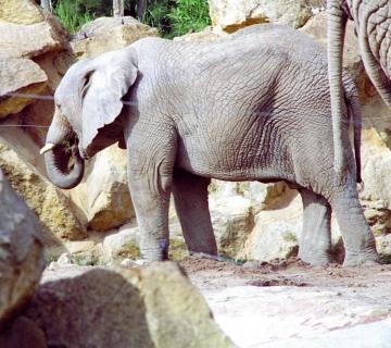 medium_elephant_scanimage12.jpg