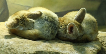 medium_fennec_IMG_3458.2.jpg