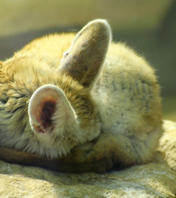 medium_fennec_IMG_3459.2.jpg
