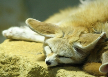medium_fennec_IMG_3867.jpg