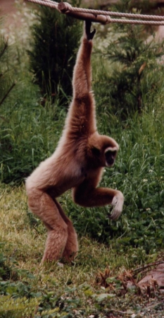 medium_gibbon1modif.jpg