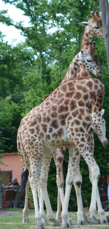 medium_girafe_IMG_3471.jpg