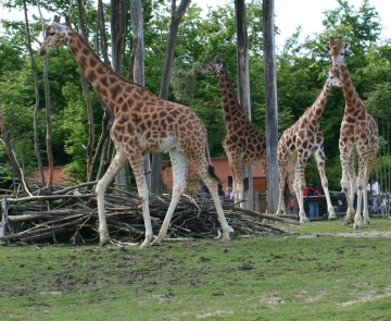 medium_girafe_IMG_3475.jpg
