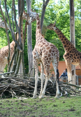 medium_girafe_IMG_3477.jpg
