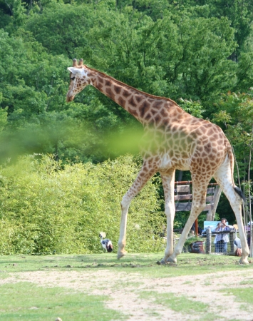 medium_girafe_IMG_3487.jpg