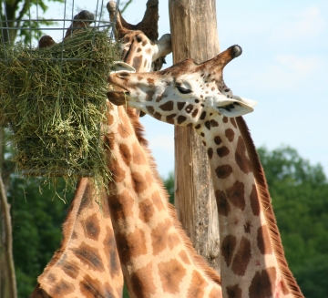 medium_girafe_IMG_3489.jpg