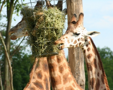 medium_girafe_IMG_3490.jpg