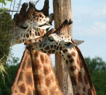medium_girafe_IMG_3491.jpg