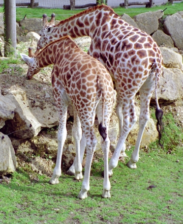 medium_girafe_scanimage19.jpg