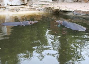 medium_hippopotame_img_0265.jpg