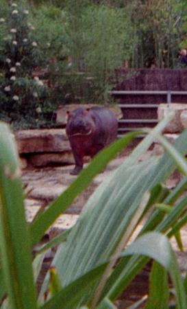 medium_hippopotame_scanimage16.jpg