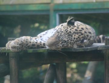 medium_le_leopard_IMG_3614.jpg