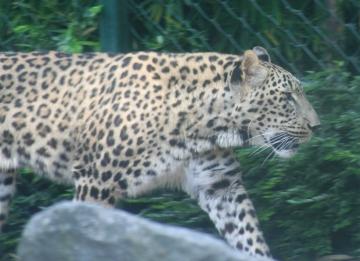 medium_le_leopard_IMG_3615.jpg