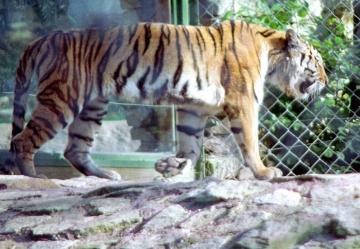 medium_le_tigre_scanimage15.jpg