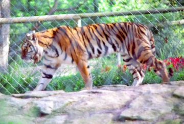 medium_le_tigre_scanimage16.jpg