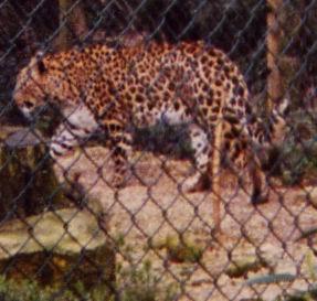 medium_leopard1modif.jpg