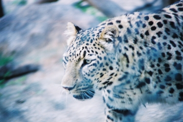 medium_leopard_img025b.jpg