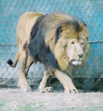 medium_lion_img024.jpg