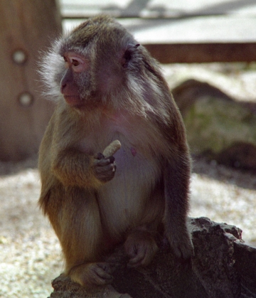 medium_macaque_crabier_scanimage25b.jpg