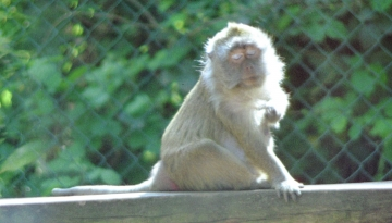 medium_macaque_crabier_scanimage26b.jpg