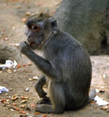 medium_macaque_crabier_scanimage7.jpg
