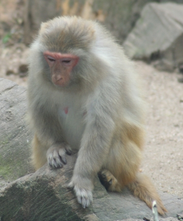 medium_macaque_rhesus_IMG_3367.jpg