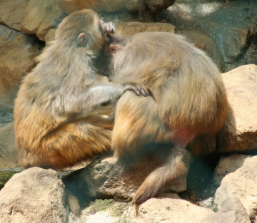 medium_macaque_rhesus_IMG_3368.jpg