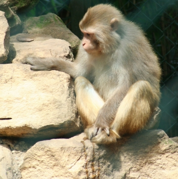 medium_macaque_rhesus_IMG_3369.jpg