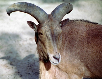 medium_mouflon_a_manchettes_scanimage11.jpg