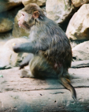 medium_rhesus_img004.jpg