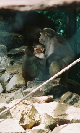 medium_rhesus_img005.jpg