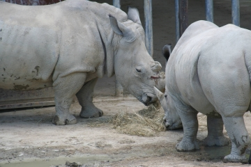 medium_rhinoceros_IMG_3496.JPG