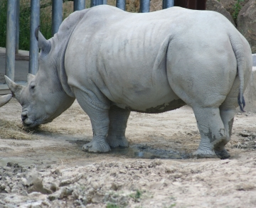 medium_rhinoceros_IMG_3497.jpg