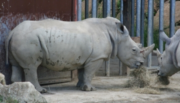medium_rhinoceros_IMG_3498.jpg
