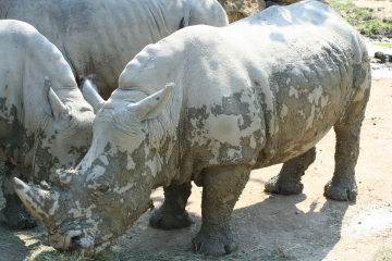 medium_rhinoceros_IMG_3895.JPG