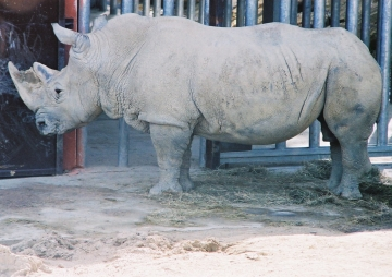 medium_rhinoceros_img019.jpg
