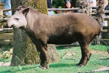 medium_tapir_img012.2.jpg