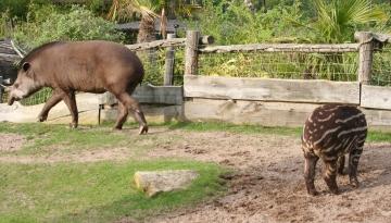 medium_tapir_img_0251.jpg