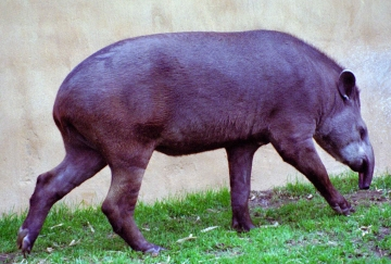 medium_tapir_scanimage9b.jpg