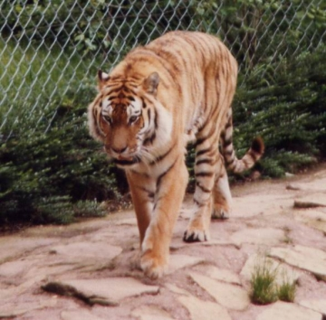 medium_tigre1modif.jpg