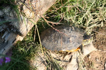 medium_tortue_a_tempes_rouges_img_2376.jpg
