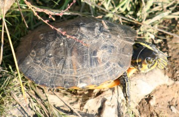 medium_tortue_a_tempes_rouges_img_2377.jpg